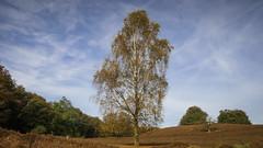 Tall Tree (Emiel Dekker) Tags: tree nature netherlands forest woods outdoor heather sony nederland natuur boom bos veluwe buiten posbank heide moorland heathland gelderland a57 rheden