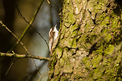 Tree Creeper (jon lees - busy) Tags: tree bird woodland beak bark ash elusive predator britishwildlife certhiafamiliaris insectivore treecreeper specialise irishwildlife wetwoodland ipsv0495 ipsv0497 ipsv0833 ipsv0864 ipsv1711 ipsv2547 ipsv2643 ipsv2741 ipsv2764