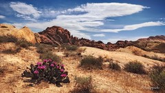 I saw the desert bloom (cherryspicks) Tags: cactus usa plant southwest clouds landscape rocks desert outdoor nevada mojave bloom daytime
