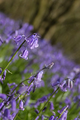 More Bells (rosejones1uk) Tags: wood uk flowers england nature bluebells sussex natural southcoast