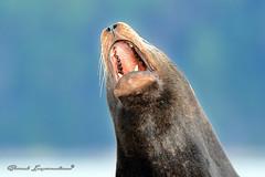 California sea lion (Boreal Impressions) Tags: ocean california animal fauna bc pacific vancouverisland sealion californiasealion zalophuscalifornianus