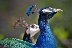 Sunward gaze (Satriver) Tags: travel blue bird canon mirror twin peacock morocco dual chefchaouen