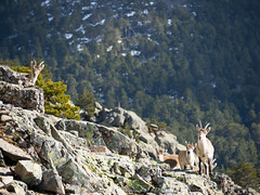 Mountain goats (Alejandro Hernández Valbuena) Tags: mountain mountains nature animal rock fauna stones wildlife goat alpine horn guadarrama ibex