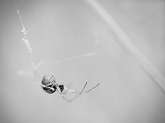 Araigne. (steph20_2) Tags: bw white black macro monochrome closeup lumix spider noir noiretblanc ngc panasonic monochrom blanc 45mm araigne m43 gh3 skanchelli