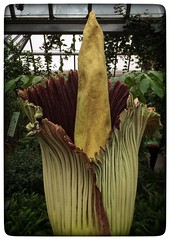 Sprout - Amorphophallus titanum, Titan Arum, or Corpse Flower at the Chicago Botanical Garden. He/She bloomed at 2am so most of the stink was gone. An amazing plant! (beckyjanedavis) Tags: sprout amorphophallustitanum corpseflower chicagobotanicalgarden beckyjanedavis titanaran