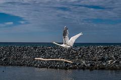 Spiccando il volo, Cigno (Federico Barbera) Tags: italia mare pentax liguria fiume genova cigno cogoleto pentaxfa35mmf2 smcpentaxfa35mmf2al pentaxk30