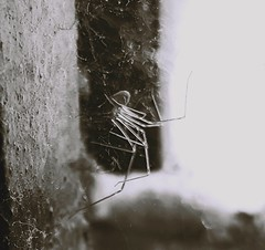 Itsy bitsy (Srividya Balayogi) Tags: blackandwhite white black window insect spider windowsill pest spiderwebs