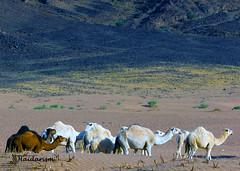 Camels: A Miracle (haidarism (Ahmed Alhaidari)) Tags: travel macro tourism nature animal bokeh outdoor miracle ngc tourist depthoffield camel macrophotography sonya65