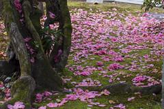 2016 Spring Season Tour Of Kyoto (caz76KOBE) Tags: japan canon garden landscape ma temple eos spring kyoto 100mm   cherryblossoms macrolens   ef100mm  eos6d reikanji ef100mmf28lisusmmacro ef100mmf28lmacroisusm 2016spring  2016kyoto 2016caz76