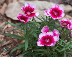City fowers (Igor Serikba) Tags: flowers red white crimson canon flowerbed eosm jupiter37a