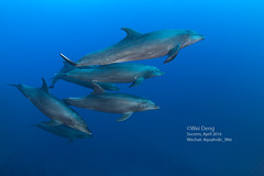 8H3A9469s (Wei on the way) Tags: canon mexico underwater dolphin wideangle scuba diving fisheye housing baja socorro nexus strobe buceo delfines liveaboard inon socorroislands z240 5d3