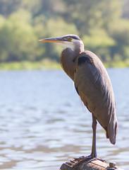 SammParkJun15 (3 of 6) (triforfun) Tags: park wild lake bird heron nature water grey state wing beak feather issaquah sammamish