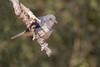 Shama Oriental ♀ (ik_kil) Tags: india birds orientalmagpierobin copsychussaularis keoladeo keoladeonationalpark birdsofindia copsychussaularissaularis shamaoriental rajasthán