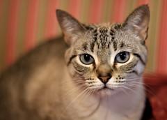 Y que hago yo entre tantas florecillas? (Renato Di Prinzio Fotografa) Tags: pets cat kitty