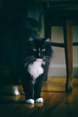Jasper White Toes (lstarner (Lynn)) Tags: cat canon jasper tuxedo ef100mm 60d