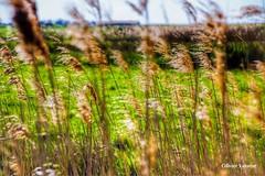 La France des champs.... (Olivier_Vasseur) Tags: france vent champs paysage campagne roseaux quitude