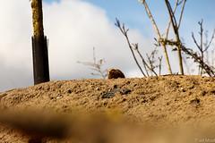 IMG_9299 (TvdMost) Tags: prairiedog prairiehond wildlands cynomys prariehondje wildlandsemmen