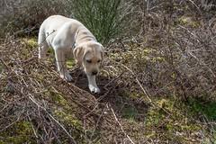 AP16-9588 Careful of the thorns Buddy (Jan-Willem Adams) Tags: dog netherlands puppy labrador nederland buddy gelderland garderen honden fordjw janwillemadams adamsphotography