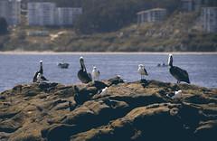 Papagayos club (Imthearsonist) Tags: chile sea seagulls nature birds animals daylight mar rocks pelikan gaviotas horcon canoncamera vregion oceanopacifico papagayos canonreflext3i
