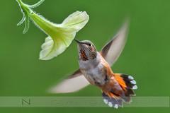 Testing the Nikon D500 (Normsnature) Tags: nature birds nikon hummingbird d500 rufous iso5000 normanngphotography