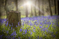 English Bluebells (Jacky Parker Floral Art) Tags: uk flowers blue sunshine closeup woodland outdoors buckinghamshire nopeople wildflowers freshness springtime sunflare selectivefocus naturephotography newgrowth floralart beautyinnature horizontalformat flowerphotography englishbluebells rowleywoods nikond750 spring2016
