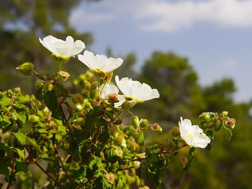 Troodos flowers