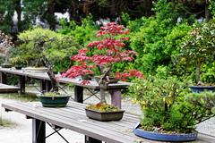 20160413-37-Bonsai at Kyoto Botanic Gardens (Roger T Wong) Tags: travel trees holiday japan kyoto bonsai botanicgardens 2016 canonef70200mmf4lisusm canon70200f4lis canoneos6d rogettwong