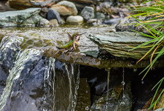SPLISH SPLASH (Sandy Stewart) Tags: spring wetlands streams hummingbirds bathing birdbaths bathingbirds annahummingbirds hummingbirdsofnorthamerica hummingbirdsofcanada hummingbirdsofthepacificnorthwest hummingbirdsofbc hummingbirdsofvancouverisland