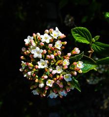 Lorbeerblättriger Schneeball (Viburnum tinus) (Kat-i) Tags: white leaves garden bayern deutschland spring blossoms kati blätter strauch frühling katharina blüten 2016 weis viburnumtinus gartn zierstrauch nikon1v1 lorbeerblättrigeschneeball