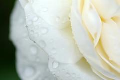 . (Jill-Wang) Tags: flower macro rose bokeh drop 100mm fujifilm 100mmmacro leicar xpro1