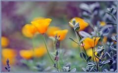 Poppies still going (tdlucas5000) Tags: closeup bokeh poppies wildflowers eschscholzia californiapoppy sigma105