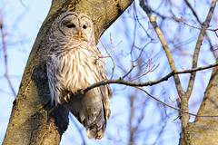 Barred Owl At Golden Hour (jrlarson67) Tags: wild brown white tree bird nature animal forest golden wings nikon branch wildlife raptor hour owl wise prey wilderness predator avian hooter barred d7100