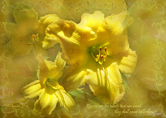 Blessed are the hearts that can bend; they shall never be broken  (Albert Camus) (boeckli) Tags: flowers plants yellow outdoor blossoms pflanzen blumen textures gelb lilies bloom camus blten lilien texturen poetography isabelmarchn