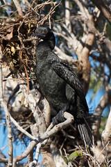 Little Black Cormorant (Byron Taylor) Tags: bird nature birds canon wildlife sydney australia southpacific nsw cormorant moorhen littleblackcormorant australiasia canon7d duskymoohen