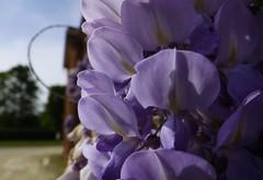 Cascata di Glicine - Wisteria fall (roberto.piscitello) Tags: flower torino violet piemonte cielo fiori viola turismo colori castello venariareale borgo api medioevo lilla glicine rampicante lamandria