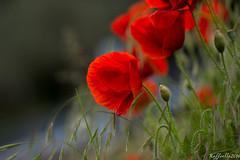 Perch accontentarsi di uno quando puoi averne tanti? ((Raffaella@)) Tags: macro verde primavera canon spring poppies aprile rosso amapolas coquelicots 25aprile2016