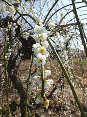 16i5217 (kimagurenote) Tags: apricot ume  japaneseapricot  prunusmume sogabairin   odawarakanagawa