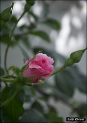 Pink Rose Bud IZE_15435 (Zachi Evenor) Tags: flowers roses flower rose garden israel gardening april mygarden    2016 rosea            zachievenor