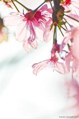 DSC_8556 (Frankie Tseng ()) Tags: park pink flowers sunset sky bw flower silhouette photography 50mm blackwhite nikon outdoor flash sunny tokina cherryblossoms fade nikkor 70300mm tamron 90mm f8 1224mm f28 f4 1870mm bwphotography blackwhitephotography portraitphotography outdoorportrait sb900 yongnuo outdoorportraitphotography yn568