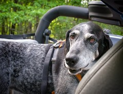 18/52 just in time (huckleberryblue) Tags: dog week18 spring gracie jeep hound bluetickcoonhound 52weeksfordogs