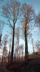 Muszkowice (nesihonsu) Tags: trees tree forest beech buk fagus buki beechforest lowersilesia buczyna przyrodapolska natureofpoland muszkowice bukowylas muszkowickilasbukowy