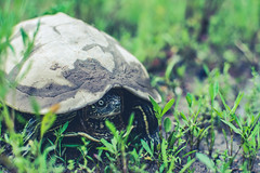 I Am Turtle (QuintonHurstPhotography) Tags: life green nature up animal fauna living close natural turtle reptile thing wildlife tortoise shell creature shelled