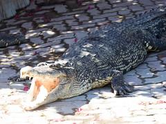 P1092401 (tatsuya.fukata) Tags: elephant thailand crocodile samutprakan crocodilefarm