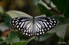 Common Wanderer female - Pareronia valeria (reza.islam) Tags: nature canon butterflies dslr pieridae 400d 55250 commonwanderer pareroniavaleria