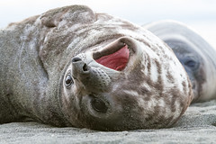 Red mouth (shashin62) Tags: southgeorgiaislands grytviken antarctica seal elephantseal