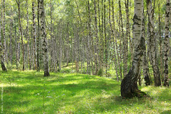 Into the mystic of birch forest... (gráce) Tags: wood trees light tree green nature grass forest canon shadows outdoor birch birches softcolours beautyofnature beautifulforest canoneos550d treasureofnature