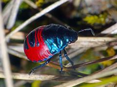 Jewel-bug Choerocoris paganus nymph (Simon Grove (TMAG)) Tags: australia tasmania insecta hemiptera taroona scutelleridae choerocoris tasmanianmuseumandartgallery tmagzoology february2016
