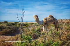 Tamraght Camel (bagsandbiscuits) Tags: ocean travel beach landscapes morocco travelphoto tamraght