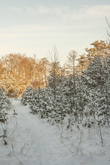 Snowy Winter Scene (AudioClassic) Tags: snowflake christmas blue winter sunset sunlight snow cold tree ice nature pine forest outdoors photography estonia day branch nopeople christmastree falling fairy blizzard baretree glade firtree icecrystal tranquilscene beautyinnature nonurbanscene