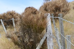 2016-01-06 at 15-57-12 (Mollivan Jon) Tags: newzealand dead conservation places canterbury southisland species bankspeninsula scotchbroom cytisusscoparius herbicide mollivan okainsbay weedcontrol taxonomy:family=fabaceae taxonomy:kingdom=plantae taxonomy:genus=cytisus taxonomy:common=scotchbroom taxonomy:binomial=cytisusscoparius miscellaneouskeywords tamronspaf90mmf28dimacro11272nii observationaddedtonaturewatchnz photowithassociateddata naturewatchnz